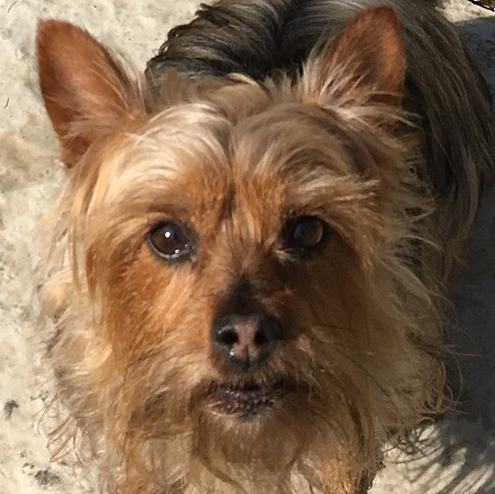 Silky Terrier Rescue Page